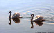 two swans in peace
